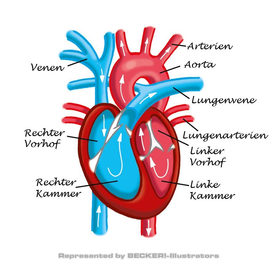 Das menschliche Herz, Aufbau und Funktion. von Hannes Neubauer