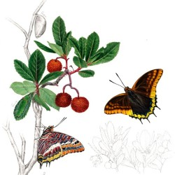 Erdbeerbaumfalter von Johann Brandstetter