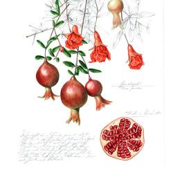 Granatapfel von Johann Brandstetter