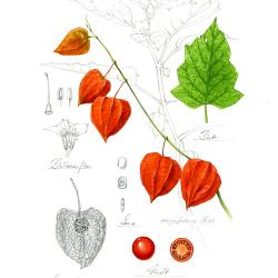 Lampionblume von Johann Brandstetter