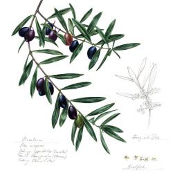 Olive von Johann Brandstetter