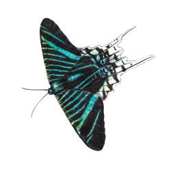 Urania_Schmetterling von Johann Brandstetter
