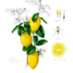 Zitrone von Johann Brandstetter