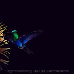 kolibri von Johann Brandstetter