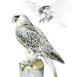 Falke von Johann Brandstetter