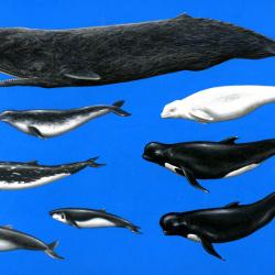 Wale von Johann Brandstetter