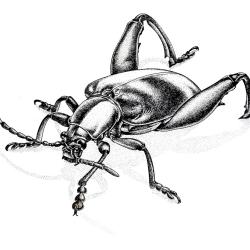 Beetle von Arthur Phillips